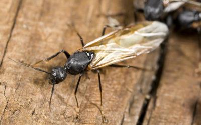 Winged Carpenter Ants
